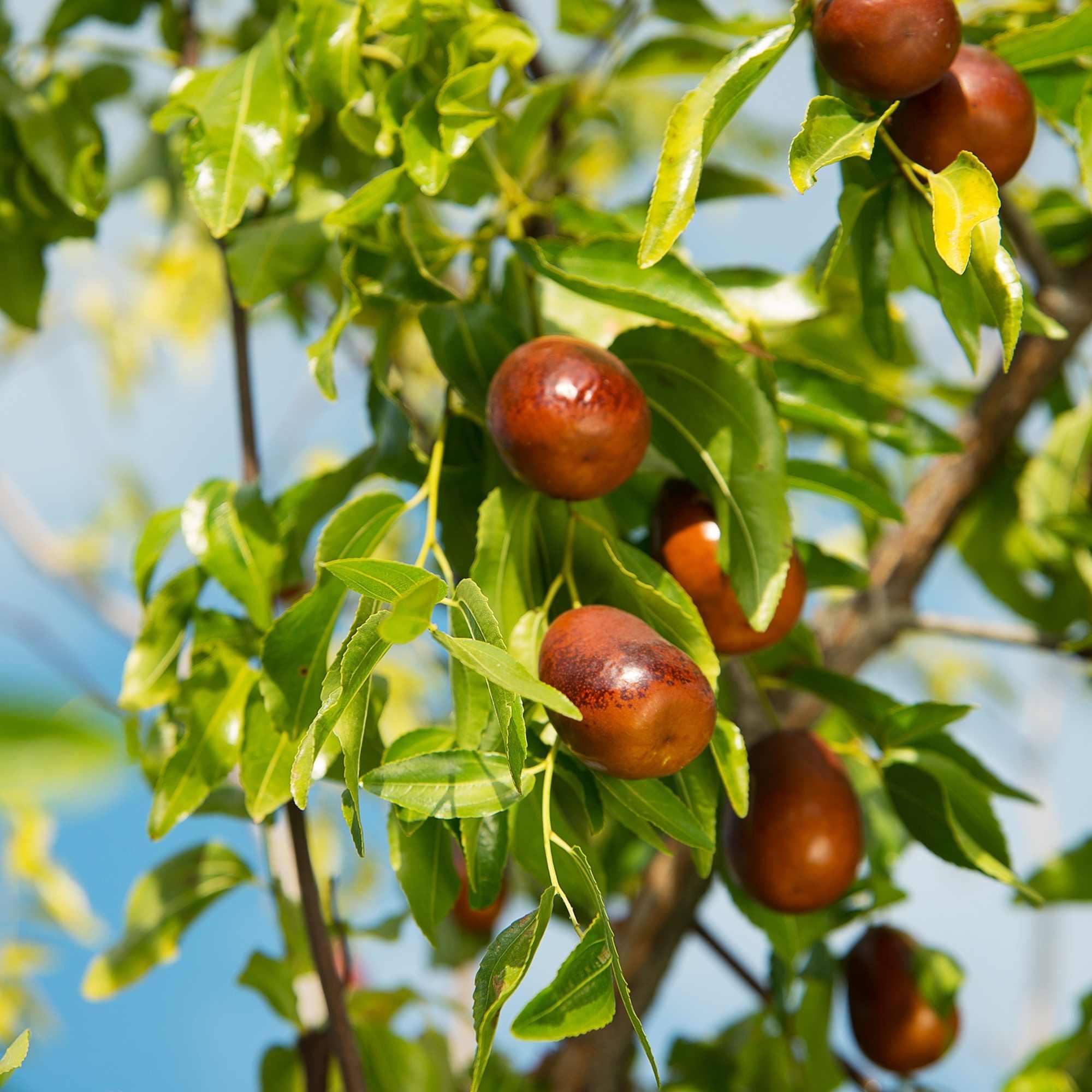 Jujube Seed Benefits